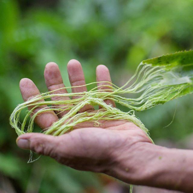 fibra de las hojas de la piña
